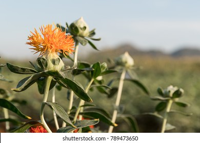 Safflower (Carthamus tinctorius,False saffron) has begun to bloom and buds of Safflowers in garden