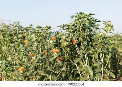 Safflower (Carthamus tinctorius,False saffron) has begun to bloom and buds of Safflowers in garden