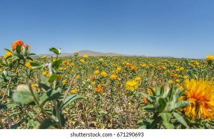 Safflower field