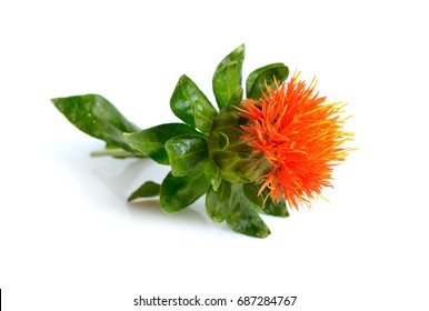 Safflower plant. Isolated on white background.
