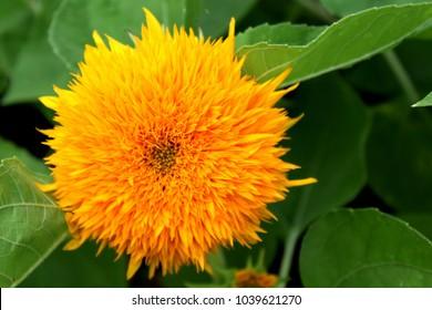 Safflower yellow background blurred