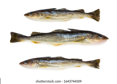 Saffron cod marine fish, length 35 centimeters. It lives in the seas of the Far East. Isolation on a white background.