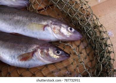Saffron cods on net