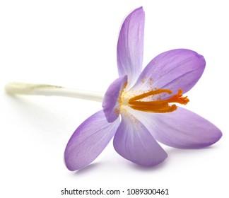 Saffron crocus flower isolated over white background