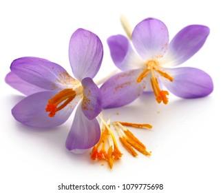 Saffron crocus flower over white background