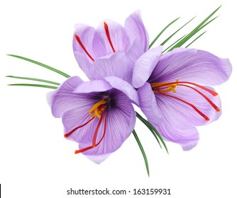 saffron crocus flowers isolated on white background