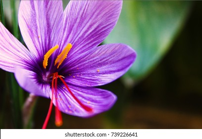 A saffron flower.The vivid crimson stigmas and styles, are collected and dried. Saffron, long among the world's most costly spices by weight. Saffron has a long history of use in traditional medicine
