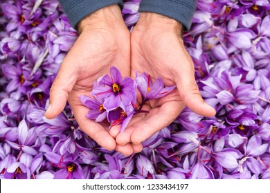 Saffron flowers in a handful after harvest.
