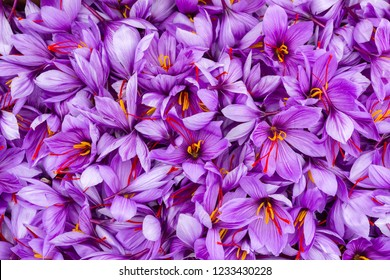 Saffron flowers. Violet petals of saffron blossom close view.