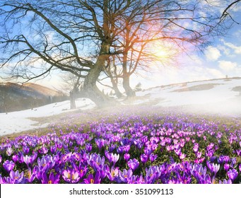 Saffron Geyfelya- first spring flowers that bloom right after melting of snow and ice in alpine fields Carpathians and the Tatra Mountains on the background of old beech and spruce forests of Ukraine.