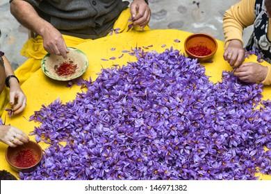 saffron harvest in madridejos, toledo, spain