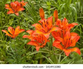 Saffron lilies (Lilium dahuricum; Lilium pensylvanicum) in spring on garde