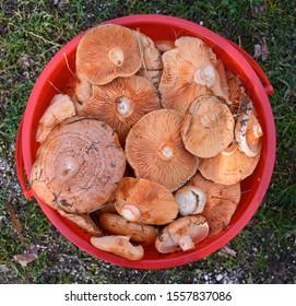 Saffron milk cap (Lactarius deliciosus) mushroom. Fall season. Mushroom hunt. Saffron milk cap aka red pine mushrooms aka Lactarius deliciosus in a grass.