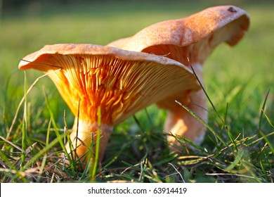 saffron milk cap mushroom in the forest
