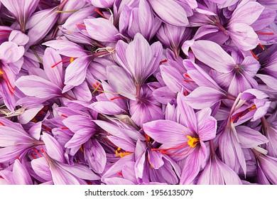 Safran ist das teuerste Gewürz der Welt.  - Shutterstock ID 1956135079