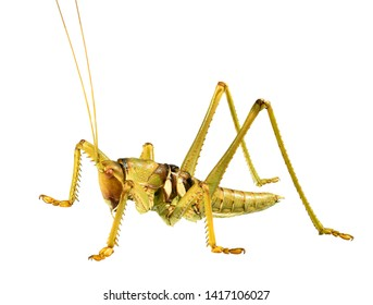 Saga (bush cricket or katydid), Saga ephippigera syriaca (Orthoptera: Tettigoniidae), isolated on a white background