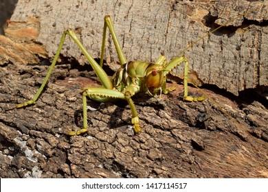 Saga (bush cricket or katydid), Saga ephippigera syriaca (Orthoptera: Tettigoniidae)