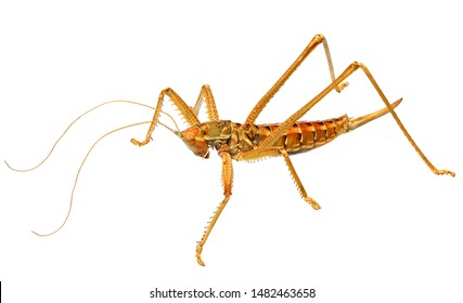 Saga (bush cricket or katydid), Saga ornata (Orthoptera: Tettigoniidae). Female. Isolated on a white background