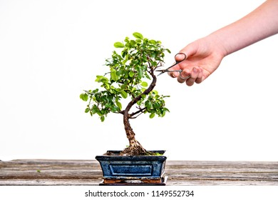 sagaretie bonsai in blue bowl on wooden board with gardeners hand in front of white background