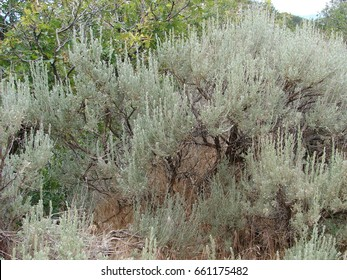 sage brush - Artemisia tridentata