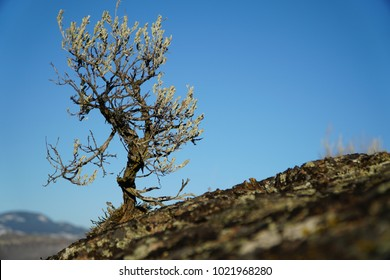 Sage Brush sprouting from Rock