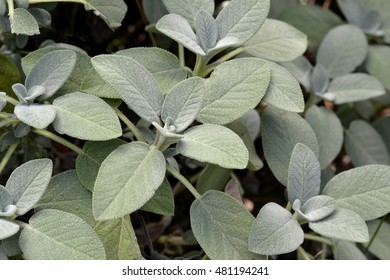 Sage; Close up of sage plant growing in garden