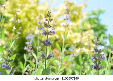 sage flowers in the garden