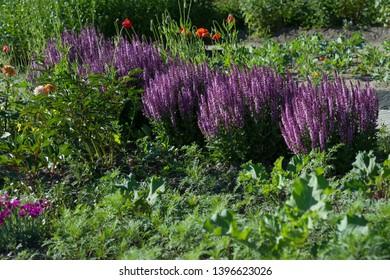 Sage flowers grow in the garden