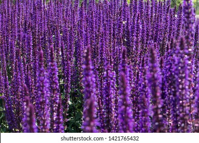 Sage, garden sage, common sage, culinary sage is perennial, evergreen subshrub, with woody stems, grayish leaves, and blue to purplish flowers. Ornamental garden plant.