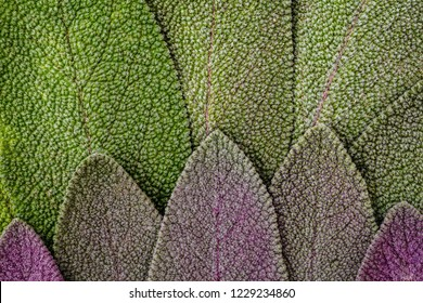 Sage green and purple leaves. Salvia officinalis Purpurascens or Purple-Leaved Sage, close up macro texture