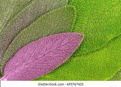 Sage green and purple leaves. Salvia officinalis 'Purpurascens' or Purple-Leaved Sage.