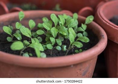 sage grows in a flowerpot in the garden