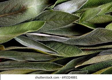Sage herb - still life