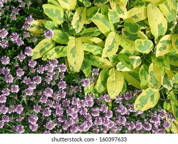 Sage leaves and flowering thyme