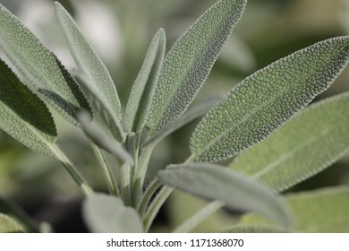 Sage leaves in a garden