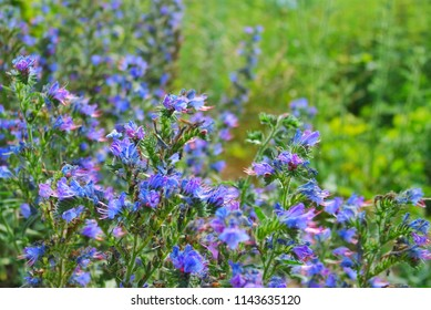 White flower with purple middle images stock photos vectors sage meadow lat salvia pratensis small purple flowers with a white middle mightylinksfo