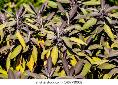 sage, medicinal plant with leaves