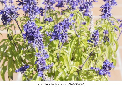 Sage plant in bloom