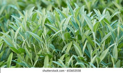 Sage plant in closeup