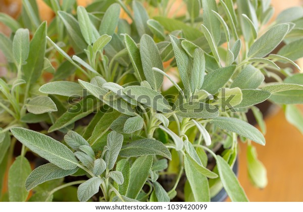 Sage plant, Sage in the herbal garden.