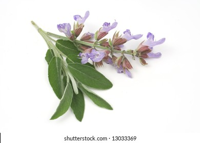 Sage plant (lat. Salvia Officinalis) isolated on white
