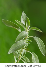 Sage plant (salvia officinalis) on blurred green background,