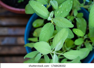 Sage plant with water droplets growing in container herb garden