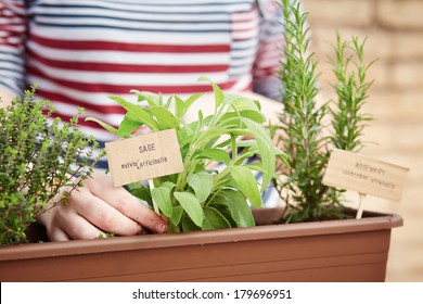 Sage and rosemary plants on urban garden in a pot