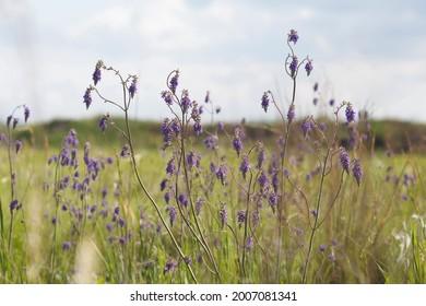 sage, Salvia Nutans flowers field in bloom; grow sage