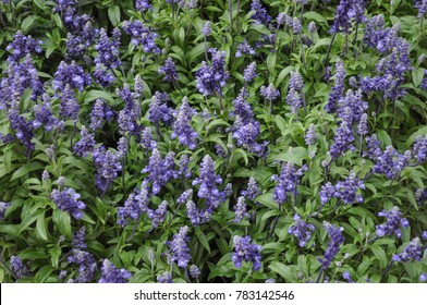 sage (Salvia officinalis) aka garden sage or common sage plant