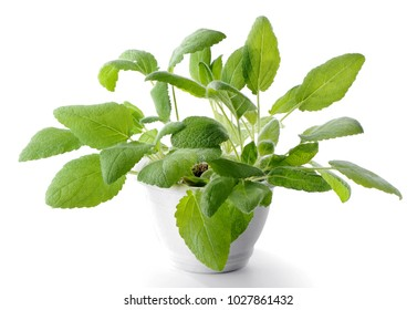 Sage (Salvia officinalis) plant in flower pot isolated on white  background