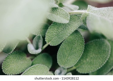 Sage, Salvia officinalis plant in the garden