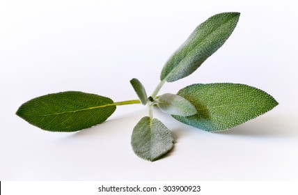 Sage (salvia) sprig on the white background