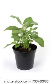 sage seedlings
